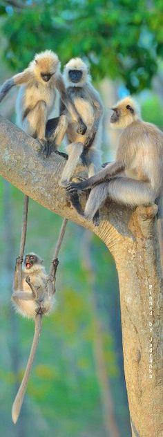 Gibbons #gibbons #monkey #Monkeys #wildlife #wildanimal #animal