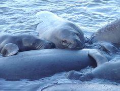 -manatees, Florida Nature, Indian River, Florida animals #PrincessCruises and #Travel