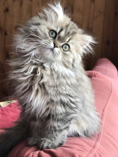 Black shaded golden persian 16 weeks old 'Isabella'