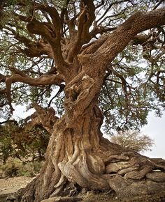The most important aspect of this magnificent tree is the golden oil it produces. Organic, sustainable, healing and ready for you to taste. Visit us Saturday, May 7th, at Abc Carpet and Home in NYC! There is still time to pick up your Mother's Day gift! www.victoriaakkari.com
