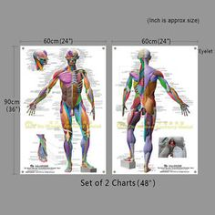 Du Human Anatomical Wall Chart LARGE64 48 36 26 Anatomy Coloring Poster Skeleton | eBay