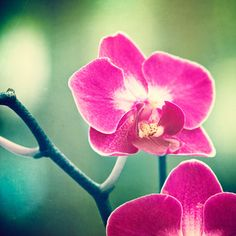 Orchid Photography flower pink purple green por CarolynCochrane
