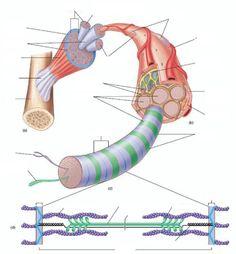 Skeletal Muscle fill-in sheet