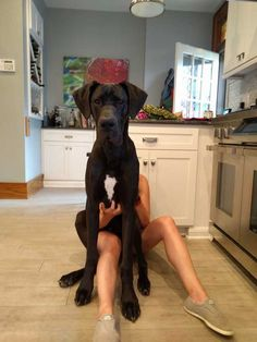 Great dane puppy lap dogs, dogs and puppies, beautiful dogs, animals beauti Weimaraner, Doberman, Great Dane Dogs, I Love Dogs, Cute Dogs, Black Great Dane Puppy, Baby Great Dane, Great Dane Funny, Funny Dogs