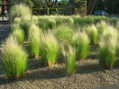 Mexican Feather Grass (Stipa tenuissima) - Grown from Mexican Feather Grass seeds, this beautiful mounded ornamental grass with needle-like flexible leaves forms dense, bright green clumps. The flower Front Yard Landscaping, Backyard Landscaping, Landscaping Ideas, Southern Landscaping, Florida Landscaping, Casa San Sebastian, Pennisetum Setaceum, Modern Gardens