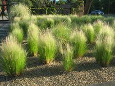 Nassella tenuissima (Mexican Feather Grass)