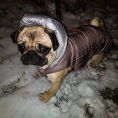 Yay it's snowing again in Tirgu Mures ❄☃ #mauricethepug #bubble #queenb #snow #snowing #tirgumures #romania #winter #cold #jackets #puglife #pugchat #pugstory #pug #mops #dog #puppy