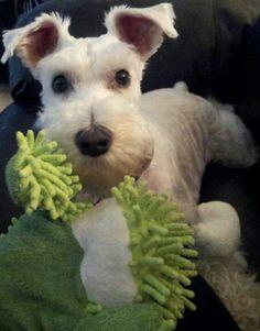 Aww I white Mini Schnauzer Puppy, absolutely adorable