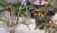 Arquivos cuidados com orquideas - Tudo Sobre Orquideas