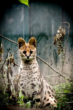 Serval by Christophe Gilbert / 500px Beautiful Cats, Animals Beautiful, Cute Animals, Gato Serval, Big Cats, Cats And Kittens, African Cats, Cat In Heat, Wild Animals Photos