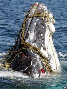 Rodrigues via Mauritius: Plastik im Magen und um den Hals -Trapped, entangled , injured, poisoned, starved and dead