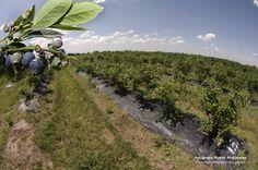 Nuestra plantación, ubicada en Suipacha, Bs. As., en el kilómetro 122,5.