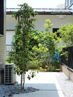 植栽 庭木 常緑樹 ホンコンエンシス