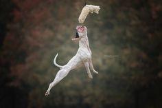 Jumping staffie