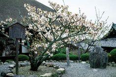 SAKURA in Kyoto JAPAN 地主神社