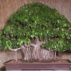 Bonsai Seeds Weeping Fig - Ficus benjamina Home Bonsai Plant Green Tree for sale online Ficus Bonsai Tree, Indoor Bonsai Tree, Bonsai Seeds, Tree Seeds, Bonsai Plants, Jade Bonsai, Garden Trees, Trees To Plant, Plantas Bonsai