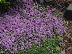 "Purple Carpet Creeping Thyme   Thymus praecox ""Purple Carpet""   #perennial #FullSun"