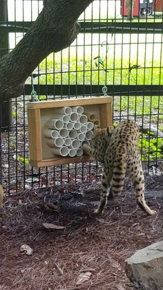 Honeycomb feeder for serval
