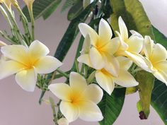 Local flower:  This colorfol flower called Sacuanjoche is Nicaragua's national flower. The flower actually grows on a tree, the Plumeria alba or Frangipani; a conical type of tree that flowers around May. The local name, Sacuanjoche, is derived from the Náhuatl language. The flower appears on the rarely used 1, 5, 10, and 25 cent banknotes