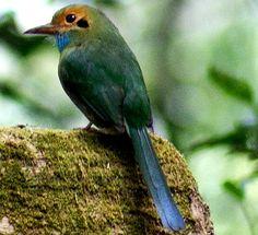 Aspatha gularis  (momoto garganta azul)