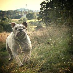 My beautiful English Bulldog, Dexter.