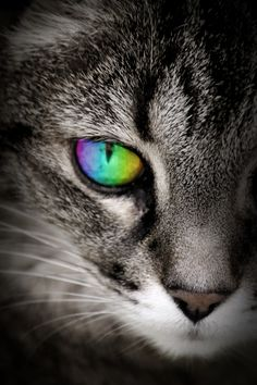 If only I were this cat~Em♥ eye color: green blue amber purple