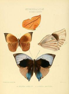Illustrations of new species of exotic butterflies London :John Van Butterfly Project, Butterfly Painting, Butterfly Print, Printable Butterfly, Butterfly Images, Vintage Butterfly, Printable Animals, Printable Art, Butterfly Illustration