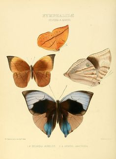 Illustrations of new species of exotic butterflies v.3 London :John Van Voorst,[1856]-1876.