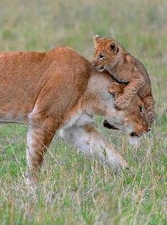Image IMG 6396 in Wild cats album Cute Baby Animals, Animals And Pets, Funny Animals, Big Cats, Cats And Kittens, Cute Cats, Beautiful Cats, Animals Beautiful, Gato Grande