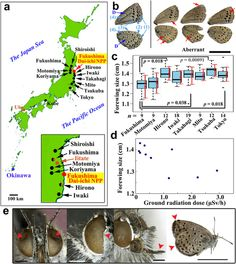 The biological impacts of the Fukushima nuclear accident in Japan on the pale grass blue butterfly
