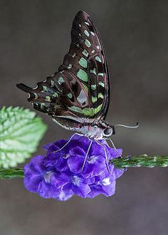 Tailed Jay by Patti Deters