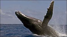 Researchers think that humpback whales may form friendships that last for years