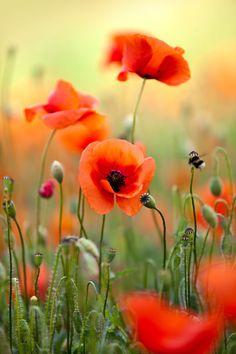 Resultado de imagem para poppies flowers                                                                                                                                                                                 More