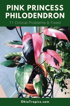 Are you having problems growing your Philodendron Pink Princess? Are you nervous that your precious plant is going to die? These plants are difficult to find and have gotten very expensive, so it is important to understand how to save your plant!  This article compiles all the main problems that people have ask about concerning their Pink Princess, and the best ways to care for this beautiful plant!