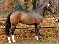 The Westphalian, or Westfalen, is a warmblood horse bred in the Westphalia region of western Germany.
