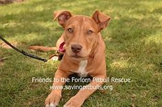 Pictures of Queeny a Pit Bull Terrier Mix for adoption in Dallas, GA who needs a loving home.