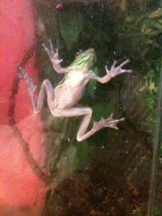 my american green tree frog Kermit R.I.P he died few months ago