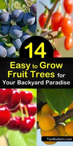 Plant easy to grow fruit trees like nectarines and blueberries for fresh, organic taste from home. Discover how long it takes for apricot and plum trees to bear fruit. Learn which trees benefit from organic mulch compost and which should prune back to promote new growth. #easy #grow #fruit #trees Veg Garden, Garden Pests, Garden Trees, Organic Mulch, Organic Gardening, Gardening Tips, Organic Fruit Trees, Nectarine And Plum, Fruit Bushes