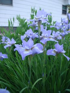 Once the German Iris are done blooming the Siberian Iris take over in massive clumps of light purple/lavender color.