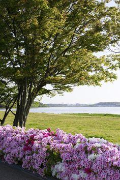 Lake Sanaru, Hamamatsu-city, Japan. 佐鳴湖 佐鳴湖とツツジ Azalea