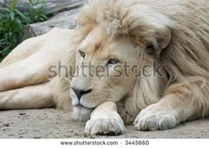 fotos de leoes brancos deitados - Pesquisa Google
