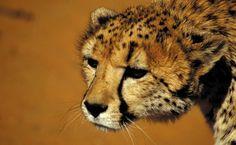 Gepard in der AfriCat Stiftung in Okonjima. Es ist eine der weltweit größten Geparden- und Leoparden Befreiungsprogramme. Hier könnt ihr wilden Katzen gaaanz tief in die Augen schauen! Cheetahs, Safari, Fox, Animals, Feral Cats, Round Trip, Eyes, World, Viajes