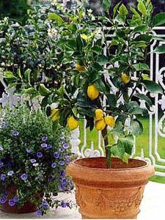 estilo y hogar rboles frutales pequeos para terrazas o balcones
