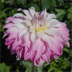 Pink Petticoat Dahlia from Swan Island dahlias