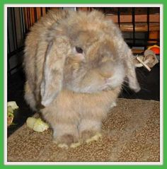 JR #rabbit #rescue #gville Awe.  He's so cute!!!  Find him on petfinder!