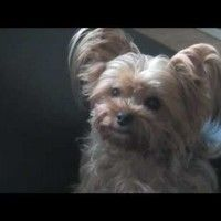185 Best Yorkie Videos Images On Pinterest Yorkie Yorkshire
