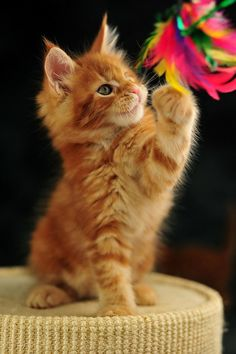 Pretty Ginger kitten