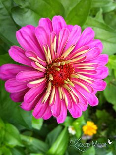 Zinnia. When I was little I would dress up and call myself Mrs.. a Zinnia.. And play in grand moms garden