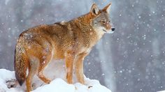 Predator hunting in winter is about being charged by hungry coyotes that are under the impression you're a critter wailing in pain. Predator Hunting, Coyote Hunting, Pheasant Hunting, Hunting Tips, Archery Hunting, Coyote Facts, Coyote Trapping, Savage Animals, Varmint Hunting