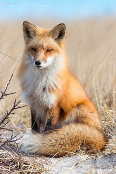 Red Fox; They are so majestic looking, they never look real.